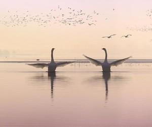 swans and love image