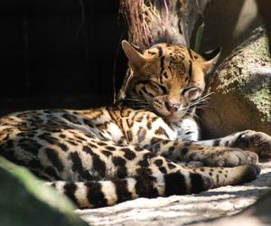 animal, beautiful, and big cat image