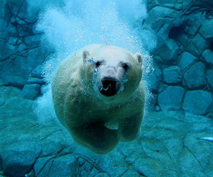 bear, under water, and eisbär image