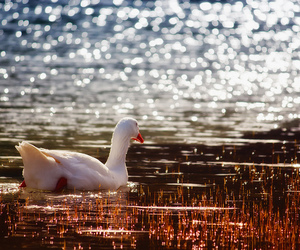 duck, sunlight, and water image
