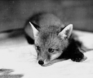 fox, black and white, and animal image