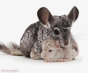 adorable, animal, and Chinchilla image