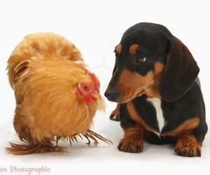 adorable, dachshund, and puppy image