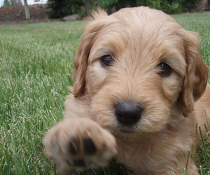 puppy, goldendoodle, and love image