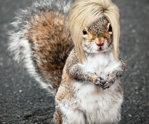 squirrel with a wig image
