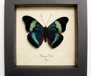 butterfly and taxidermy image