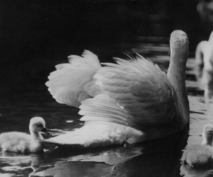 Swan, black and white, and water image