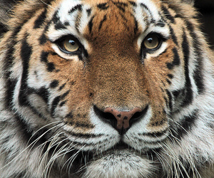animals, beautiful, and tiger image
