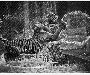 tiger and black and white image