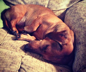 adorable, cute!, and dachshund image