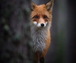 fox, what does the fox say, and feel image