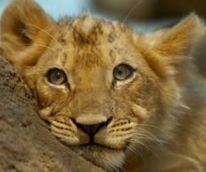 big cats, cub, and cute animals image