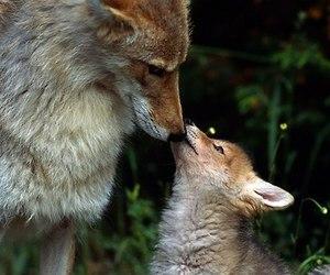fox, animal, and kiss image