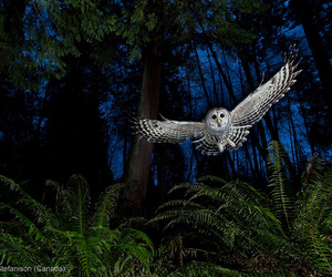 flight, owl, and barred owl image
