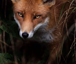 beautiful, fox, and red image