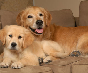 golden retrievers and puppy image