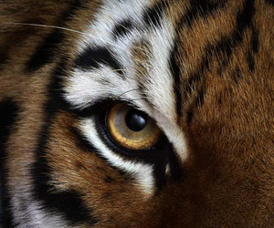 tiger, animal, and eye image