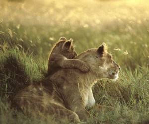 animals, baby, and lion cub image