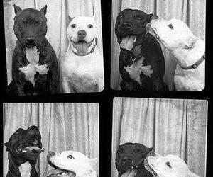 dog, pitbull, and kiss image