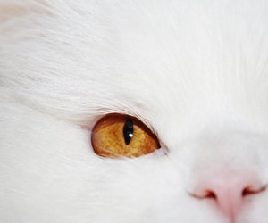 cat, persian, and whitecat image