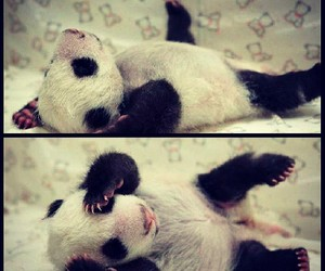 baby panda, little, and panda image