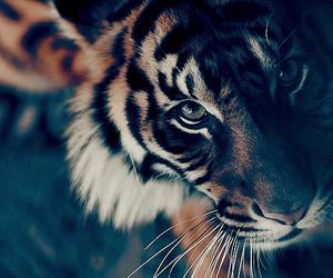 tiger, animal, and eyes image