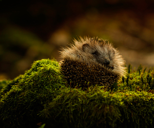 animal, hedgehog, and forest image