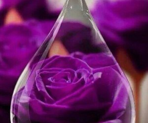 beautiful, roses, and violet image