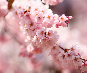 blossom, light, and pink image