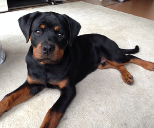 dog, rottweiler, and sweet image