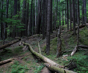 evergreen, forest, and woods image