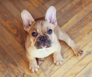 dog, frenchie, and puppy image