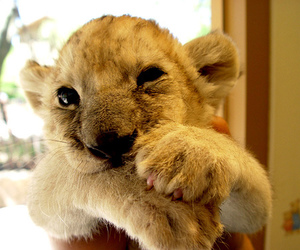 adorable, aw, and baby lion image