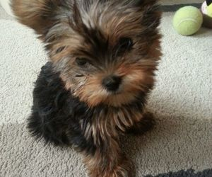 dog, Terrier, and yorkie image