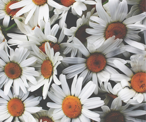 daisies, arianagrande, and flowers image
