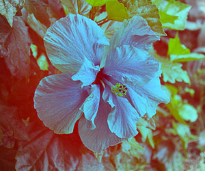 blue, flower, and hibiscus image