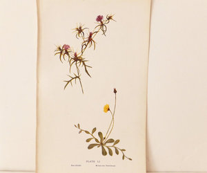 star-thistle and mouse-ear hawkweed image