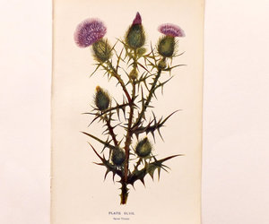 spear thistle image