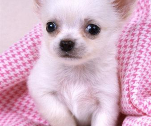 dog, cute, and chihuahua image