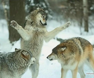 wolf, snow, and cute image