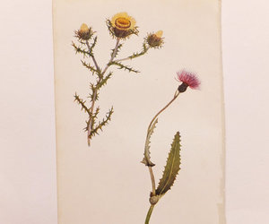 meadow thistle and common carline image