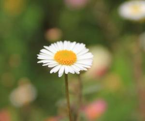 close-up, daisy, and flower image