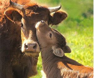 cow vegan happiness live image