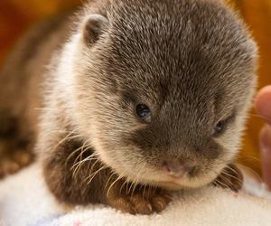 otter, cute, and baby image
