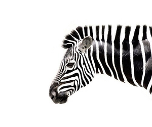 zebra, animal, and white image