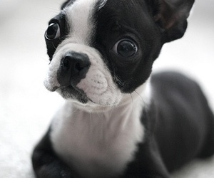 puppy, cute, and black and white image