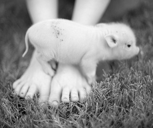 black and white, lovely, and pig image