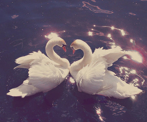 birds, heart, and swans image