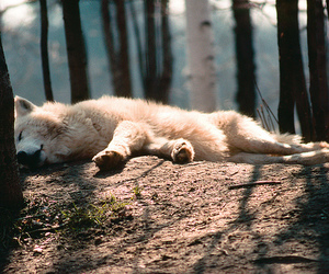 photography, wolf, and ♥ image