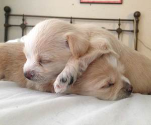 beige, cute puppies, and cuddle image